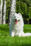 Pies na zielonej trawie samoyed Obrazy Royalty Free