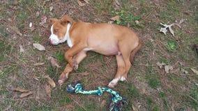 Pies na x28 & ziemi; 1& x29; Obrazy Stock