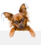 Pies nad biały sztandar patrzeje kamerę odosobniony obraz stock