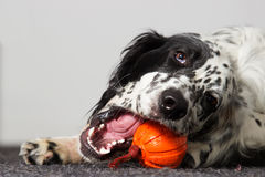 Pies nadgryza zabawkę Fotografia Royalty Free