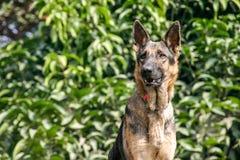 Pies Niemiecka baca Zdjęcie Royalty Free