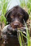 Pies niesie kaczki w swój zębach przez turzyca gąszczy fotografia stock