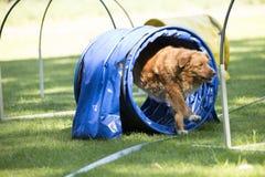 Pies, nowa Scotia kaczki tolling aporter, biega przez zwinności Obrazy Stock