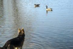 pies nurkuje dopatrywanie Zdjęcie Royalty Free