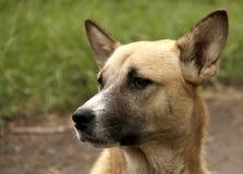Pies od pyedog Zdjęcie Stock