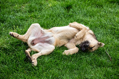 Pies odpoczywa na trawie Zdjęcia Royalty Free
