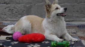 Pies odpoczywa w jardzie zbiory