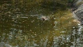 Pies pływa na jeziorze zbiory wideo
