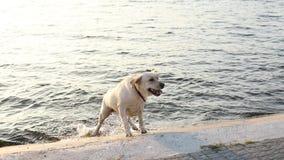 Pies pływa w jeziorze i wychodzi quay zbiory