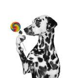 Pies patrzeje cukierku lizaka w niespodziance -- odizolowywający na czerni Zdjęcie Royalty Free