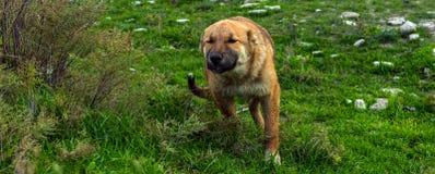 pies piękna baca zdjęcie stock
