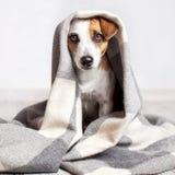 Pies pod szkocką kratą Zdjęcie Stock