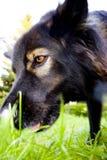 pies policyjny Obrazy Royalty Free