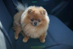 pies pomeranian Pies w samochodzie Zdjęcia Royalty Free