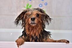 Pies potrzebuje ręcznika Obrazy Royalty Free