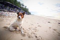 Pies przy beach-1 Obraz Stock
