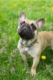 Pies przy trawy tłem Zdjęcie Royalty Free