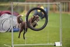 Pies przy zwinności rywalizacją Zdjęcie Stock