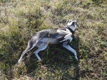 Pies przychodził kłamać puszek na trawie obraz royalty free