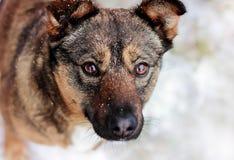 Pies przygląda się zakończenie fotografia royalty free