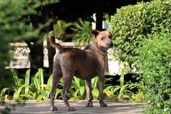 Pies, psa Dermatitis, Przybłąkani psy, Psi patrzeć zdjęcie stock
