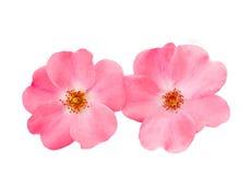 Pies róży róży biodro fotografia royalty free