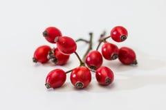 Pies różane owoc/Rosehip Zdjęcia Stock
