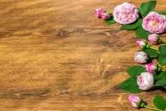 Pies róży menchia Rosa Canina Kwitnie walentynka temat Obraz Stock
