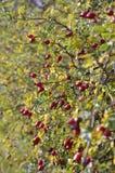 Pies, rosehip krzak w jesieni wzrastaliśmy/ Zdjęcie Stock