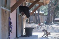 Pies ryczy przy koniem obraz royalty free