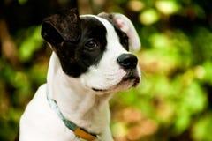 pies słucha coś Zdjęcia Stock