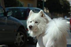 pies samoyed zdjęcia stock