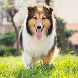 Pies, Shetland sheepdog, collie, sheltie Fotografia Royalty Free