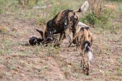 pies się spakować dziki Zdjęcie Stock