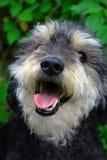 pies się uśmiecha Zdjęcia Royalty Free