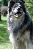pies się zastanawiać zdjęcia royalty free