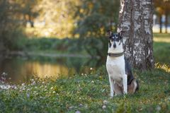 Pies siedzi jeziorem Z włosami collie traken obrazy royalty free