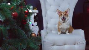 Pies siedzi na krześle nowego roku drzewem zdjęcie wideo