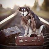 Pies siedzi na walizce na poręczach Obraz Royalty Free