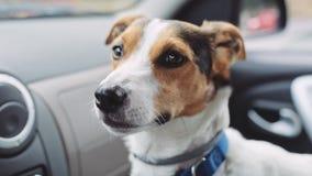 Pies siedzi w dotyczących spojrzeniach i samochodzie w odległość zbiory