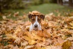 Pies siedzi w jesieni leaveson jej głowę Obrazy Stock