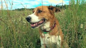 Pies siedzi w trawie zbiory