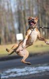 pies skacze obraz stock
