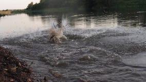Pies skacze i pływa w rzecznym zwolnionym tempie zdjęcie wideo