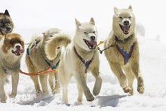 pies sledding Zdjęcie Royalty Free