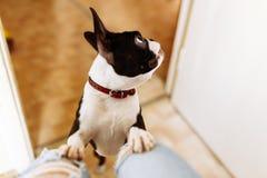 Pies stawiająca łapa fotografia stock