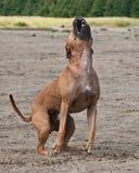Pies szczeka i strażnik Obraz Royalty Free