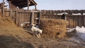 Pies szczeka przy gospodarstwem rolnym husky watchdog zdjęcie wideo