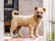 Pies, szczeniak Obraz Royalty Free