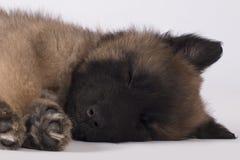 Pies, szczeniak Belgijska baca Tervuren, dosypianie, zakończenie głowa Zdjęcie Royalty Free